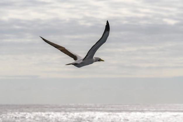 Летающая олуша - большая морская птица с преимущественно белым оперением.