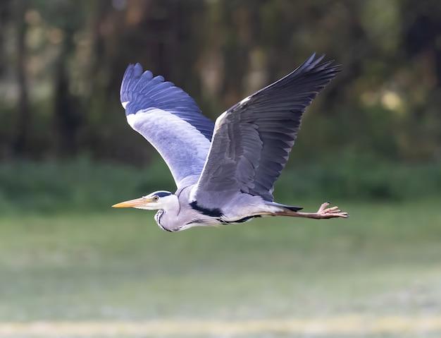 Flying gray heron