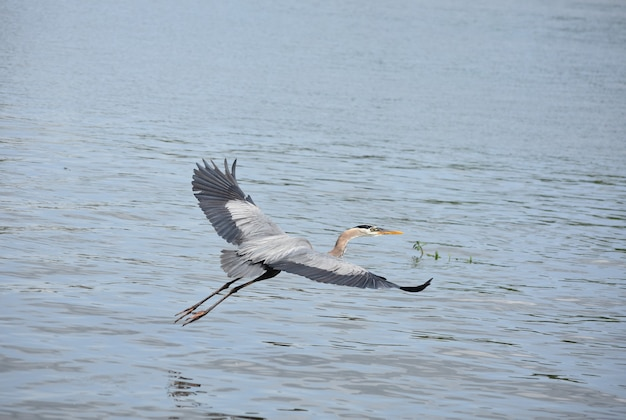 Flying great blue heron with his wings extended.
