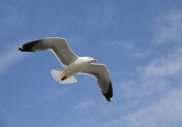 Flying herring gull on a blue sky background