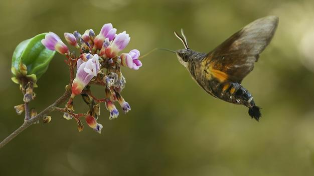 The flying hummingbird moth macro potography