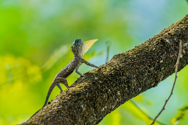 Летающая ящерица (draco lizard) остается на стволе дерева