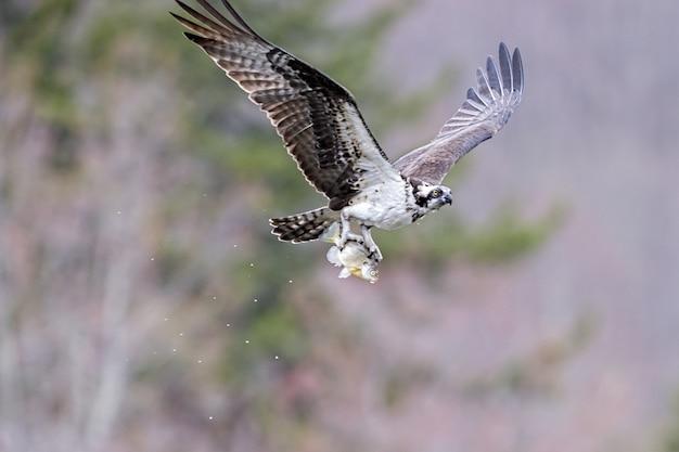 Falco pescatore volante che tiene un pesce con le zampe sotto la luce del sole con uno sfocato