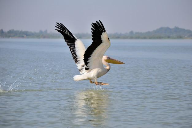 エチオピア、タナ湖で飛ぶペリカン