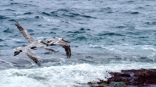 Flying pelicans and ocean on the background
