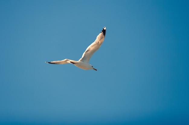 Летающая чайка против голубого неба Premium Фотографии