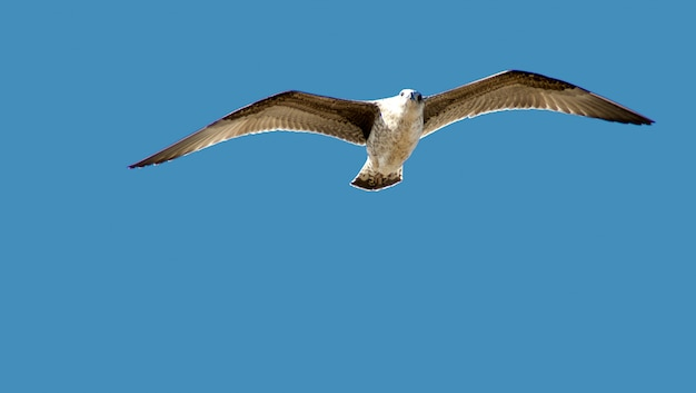 Flying seagull in the air