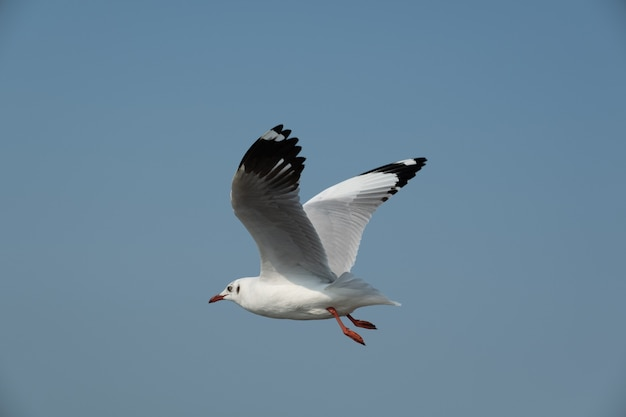 Летающая чайка в таиланде