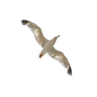 孤立した空飛ぶカモメ。