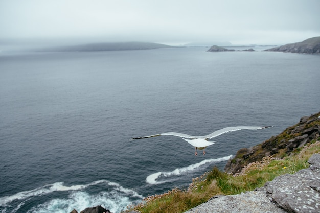 Flying seagull over ocean, dingle, in county kerry on  ireland