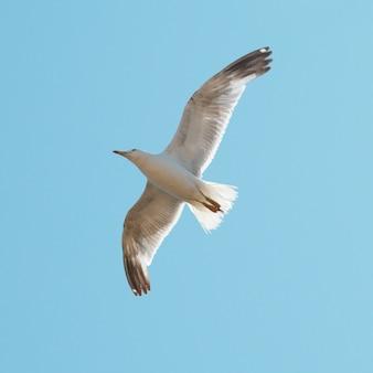 푸른 하늘 배경에 갈매기 비행.