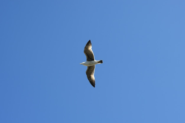 Flying seagull sea bird view from below blue sky