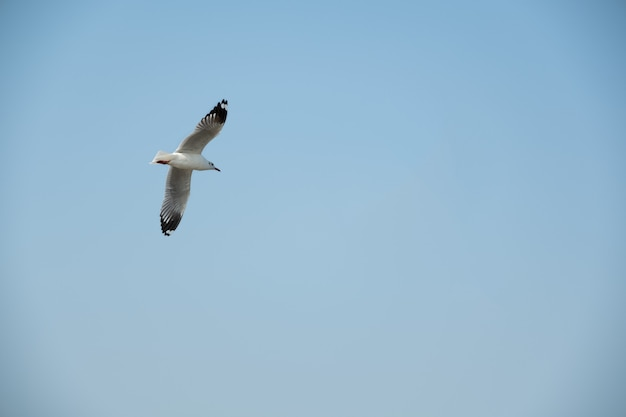 Flying seagull in thailand