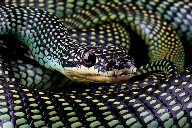 黒の背景にトビヘビのクローズアップトビヘビchrysopelea