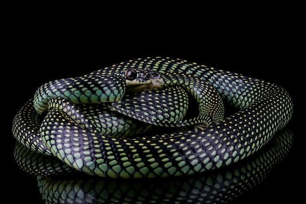 黒のトビヘビのクローズアップ