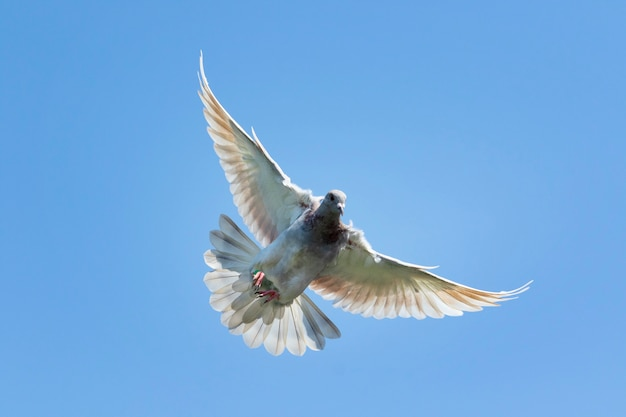 Flying speed racing pigeon bird against clear blue sky