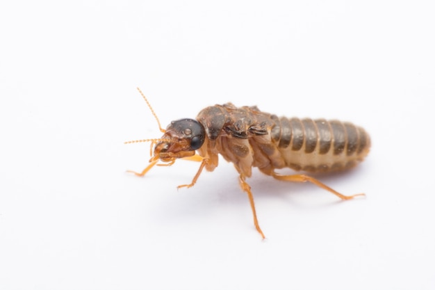 Flying termite or alates isolated on white background.