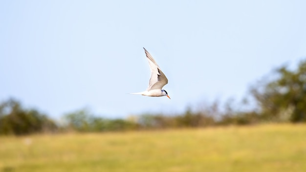 A flying tern with white feathers and orange beak