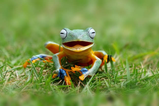 The flying tree frog like it was laughing