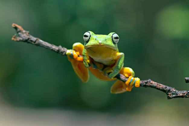 Flying tree frog, rhacophorus reinwardtii, javan tree frog