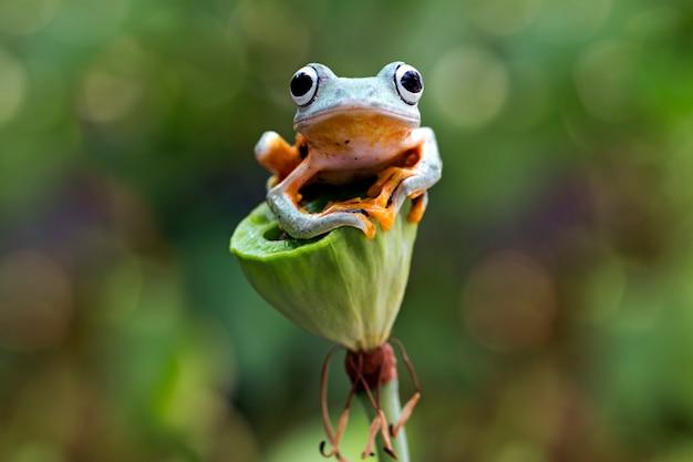 Flying tree frog, rhacophorus reinwardtii, javan tree frog