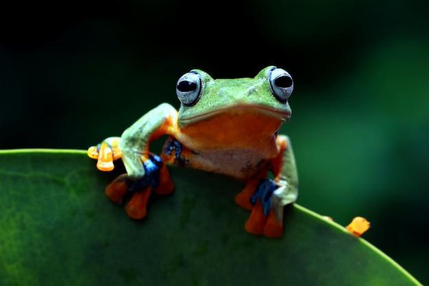 Flying tree frog, wallace frog, javan tree frog, rhacophorus reinwardtii