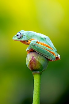 Flying tree frog, wallace frog, javan tree frog, rhacophorus reinwardtii