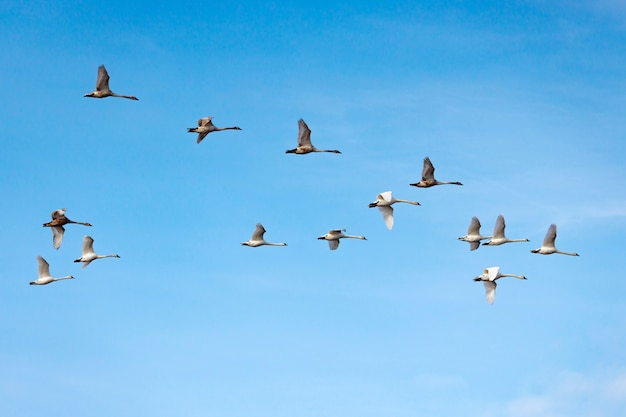 Flying white swans on the blue sky background