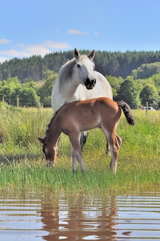 Foal and mare in swamp