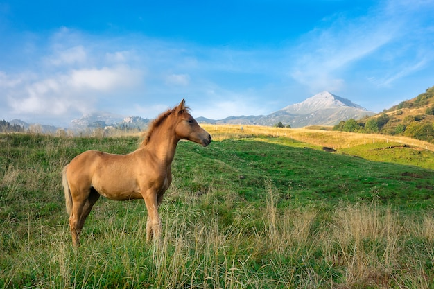 Foal only in mountain pasture in northern italy