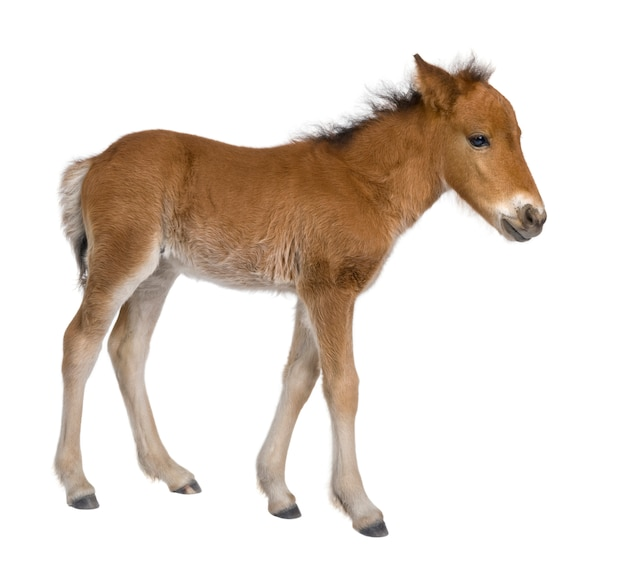 Foal on a white isolated