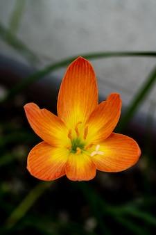 Сосредоточьтесь на пыльце дождевой лилии желтого и оранжевого цвета, которая цветет в утреннем свете.