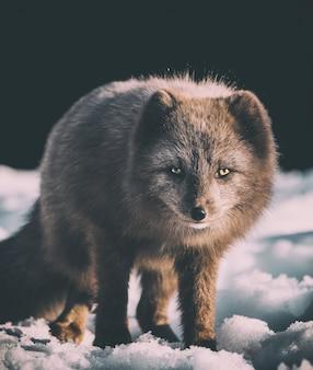 雪の上の灰色のキツネの焦点写真