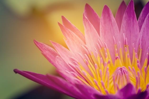 フォーカスピンクロータス植物花照明オレンジ