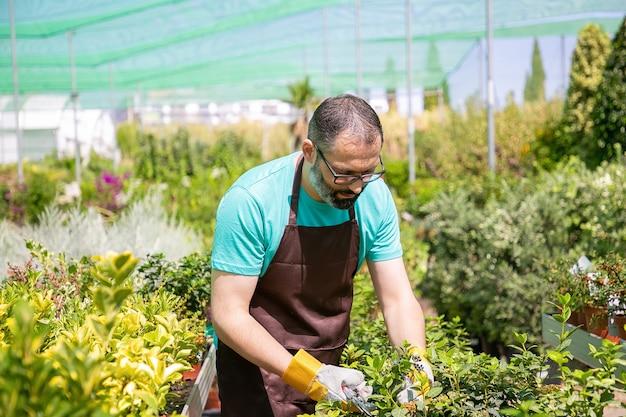 鉢植えの植物と温室で茂みを切る列の間に立っている焦点を絞った男性の花屋。庭で働き、鉢植えで植物を育てる男。ガーデニングの仕事の概念