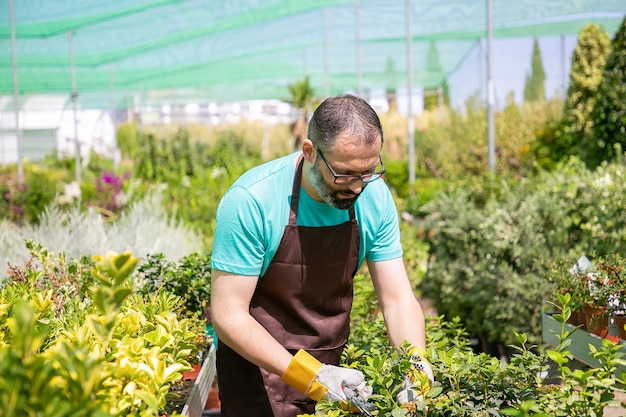 Focused male florist standing among rows with potted plants and cutting bush in greenhouse. man working in garden, growing plants in pots. gardening job concept