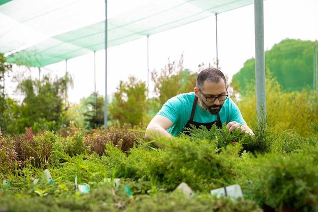 常緑植物を育てる焦点を絞った男性の庭師。青いシャツとエプロンを身に着けている眼鏡をかけた白髪の中年男性が温室で小さなクロベをチェックしています。商業園芸と夏のコンセプト