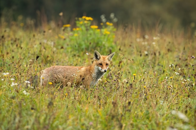 Focused red fox hunting on a meadow