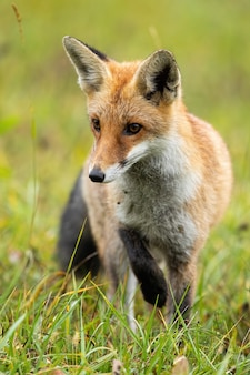 Focused red fox taking a careful step during hunt