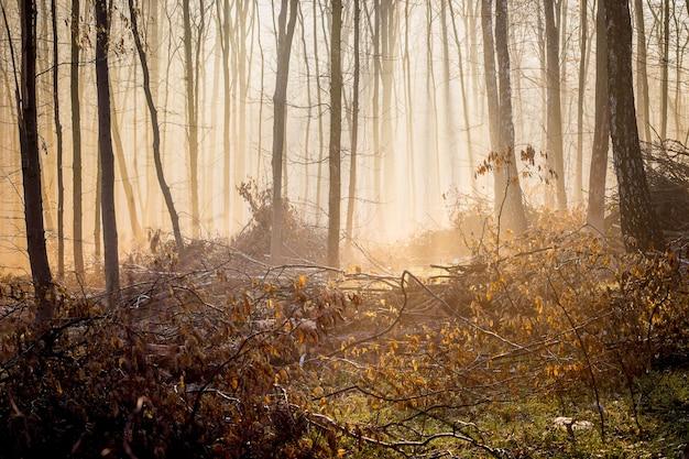 日の出の朝の神秘的な鬱蒼とした森の霧_