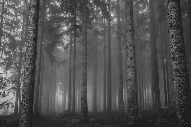 背の高い木と森の霧