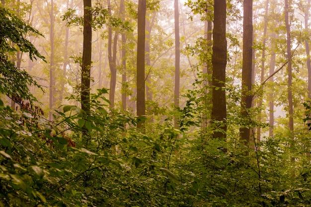 朝の森の霧。日の出の間の森の朝
