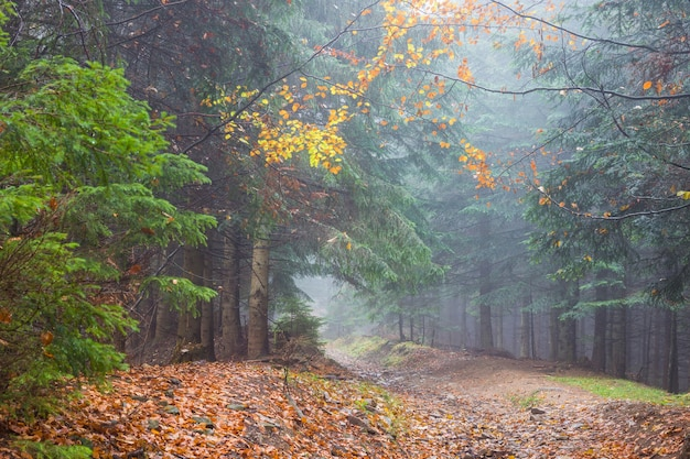 Fog in rainy forest, autumn landscape