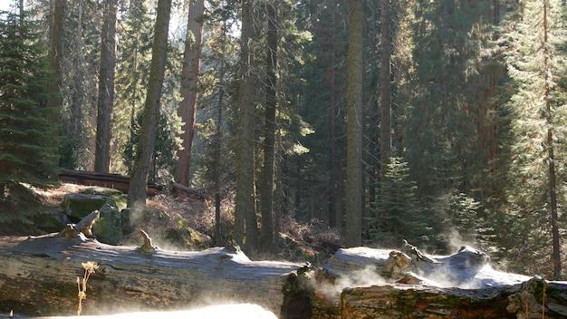 Туман поднимается в лесу секвойи, ствол упавшего красного дерева, старый лес. туманное утро калифорнии