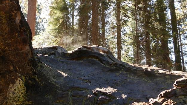 セコイアの森で霧が立ち、原生林で落ちたレッドウッドの幹。アメリカ、北カリフォルニアの国立公園、針葉樹林での霧のかかった朝。大きな根こそぎにされた松の木、日光のかすみ。