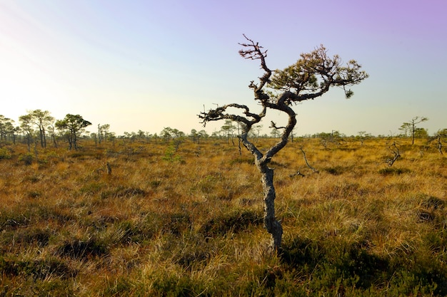Marimetsa 지역 에스토니아의 분홍색 하늘이 있는 안개 낀 습지 풍경 marimetsa bog est의 아름다운 풍경