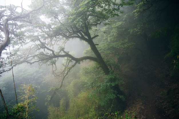 Foggy day in the forest. the trees and fog in the rainforest feel mysterious. nepal.