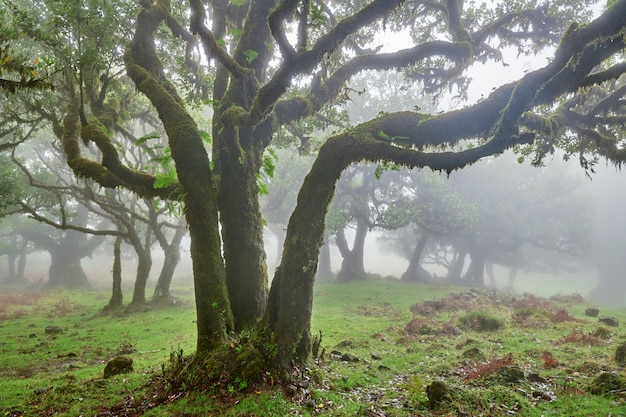 Foggy forest in madeira, portugal