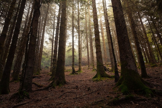 Туманный лес артикуца в баскских горах