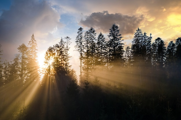 Foggy green pine forest with canopies of spruce trees and sunrise rays